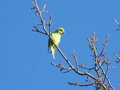 parakeet in windsor great park