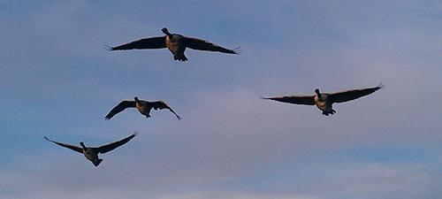 geese at wiindsor