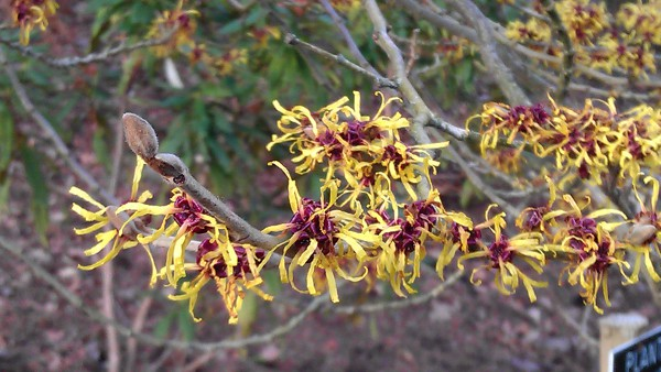 Hamamelis in Valley Gardens Windsor
