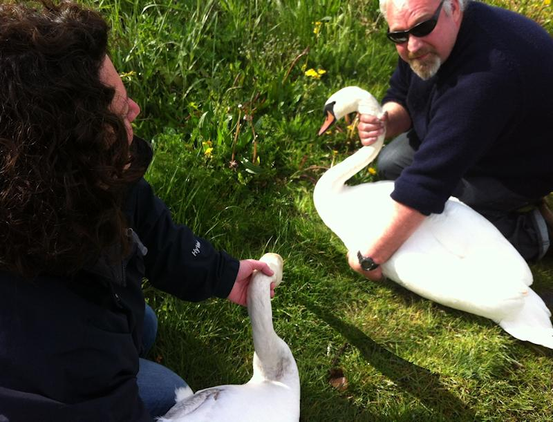 swan rescue windsor