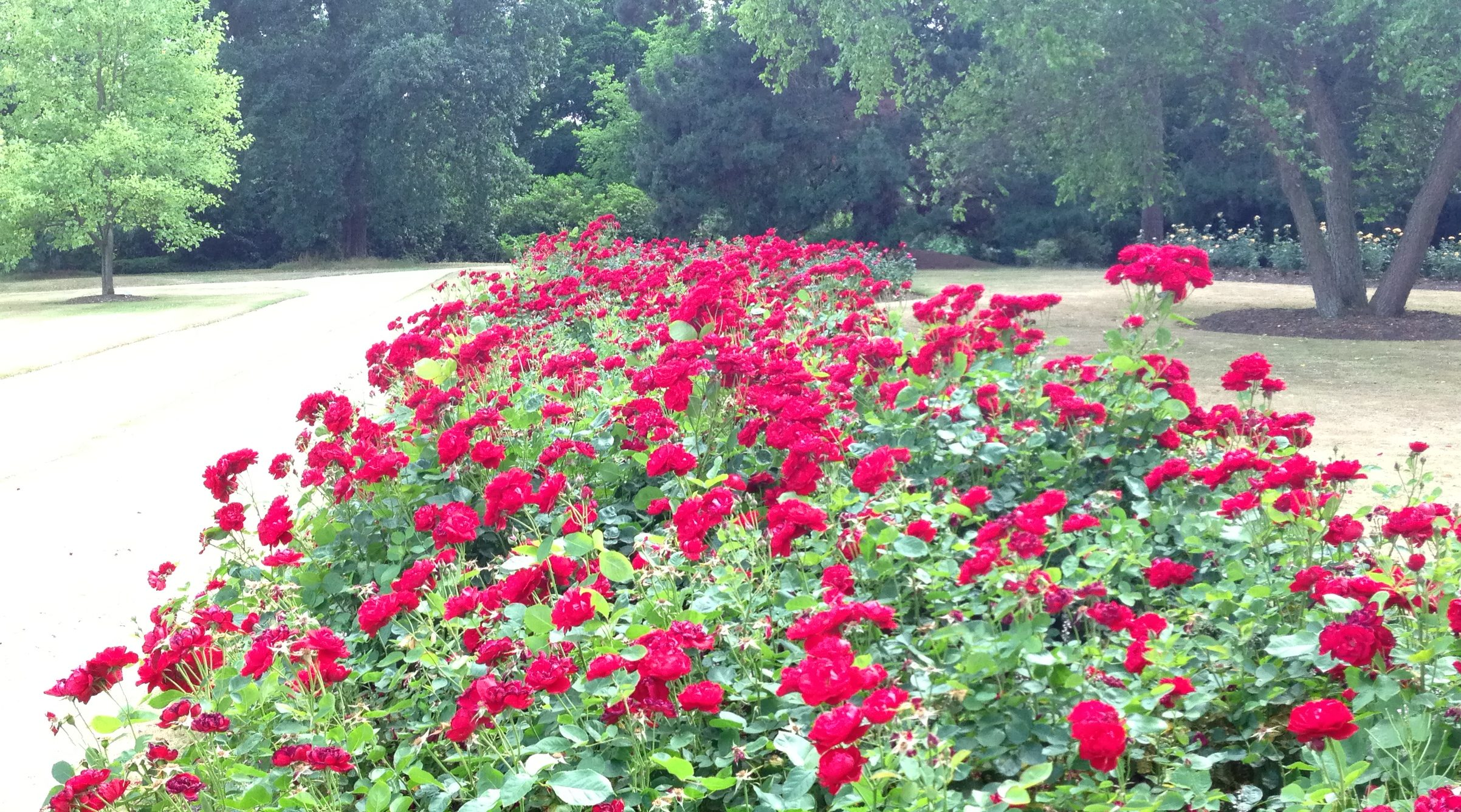roses in full bloom at Savill Gardens Windsor